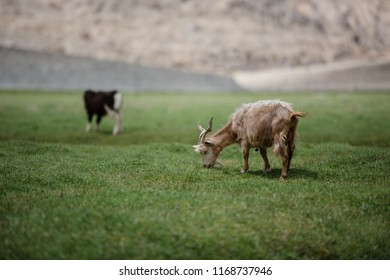 Brown Pashmina goat eating grass in highland plateau