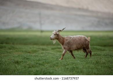 Brown Pashmina goat walking in highland plateau