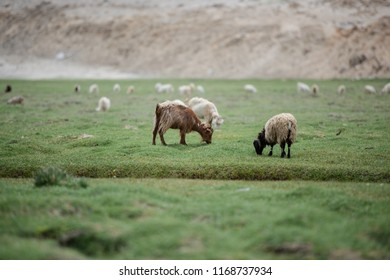 Brown Pashmina goat and white with black Himalaya sheep eating grass in highland plateau