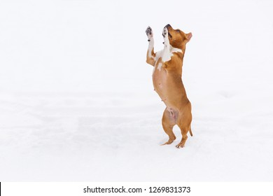Brown pedigree dog jumping in the snow in a forest. Staffordshire terrier
