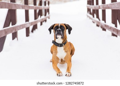 Brown pedigreed dog lying on the snow. Boxer. Beautiful hunter dog