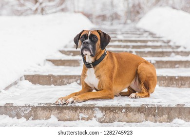 Brown pedigreed dog lying on the snowy road. Boxer. Beautiful hunter dog