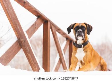 Brown pedigreed dog lying in the snow on a bridge. Boxer. Beautiful hunter dog