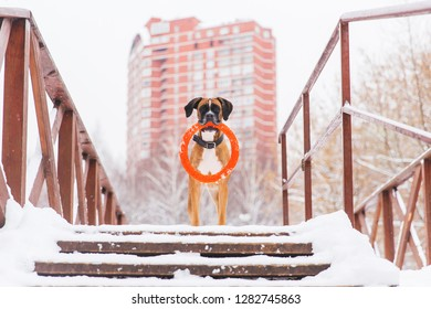 Brown pedigreed dog with orange circle toy staying on the bridge on the background of big house. Boxer