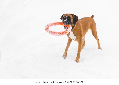 Brown pedigreed dog playing with orange circle toy on the snow field. Boxer