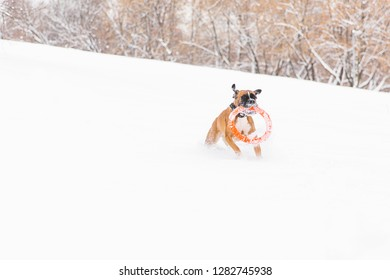 Brown pedigreed dog playing with orange circle toy on the snow field. Boxer. Running dog