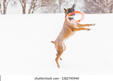 Brown pedigreed dog playing with orange circle toy on the snow field. Boxer. Jumping dog