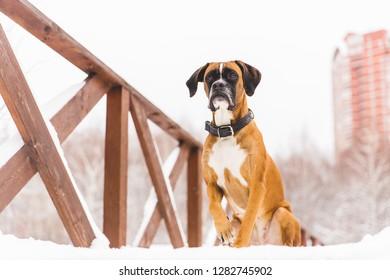 Brown pedigreed dog sitting in the snow on a bridge. Boxer. Beautiful hunter dog