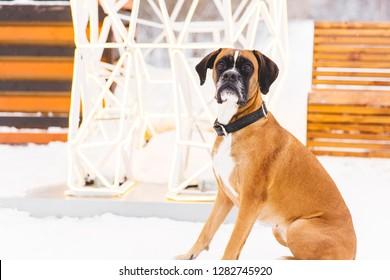 Brown pedigreed dog sitting in the snow. Boxer. Beautiful hunter dog