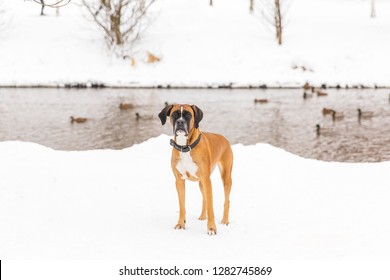 Brown pedigreed dog walking on the coast of the river in a forest. Boxer