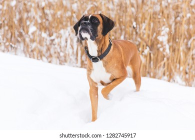 Brown pedigreed dog walking on the snowy field. Boxer. Beautiful hunter dog