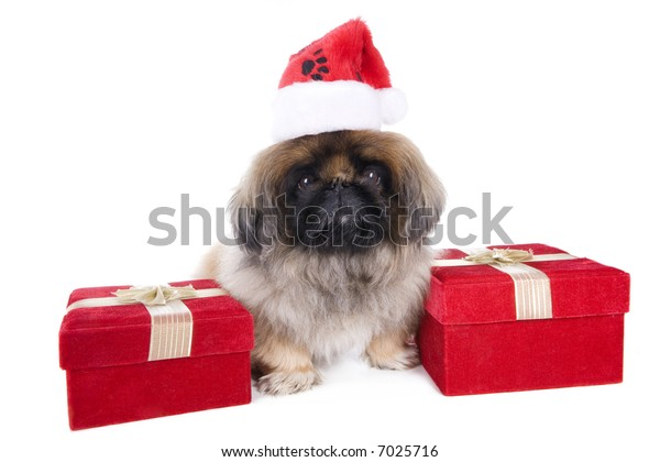 Brown Pekingese dog dressed for Christmas in hat with red velvet gift box isolated on white
