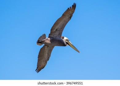 Brown Pelican with adult breeding plumage, Loreto, Baja California Sur, Mexico