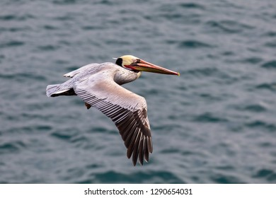 Brown Pelican Bird (Pelecanus occidentalis) in flight over the Pacific Ocean in La Jolla Beach, San Diego, California