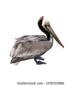 brown pelican closeup cutout isolated on a white background