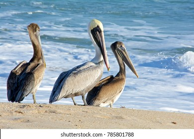 Brown pelican family on the beach, ocean waves in background, Melbourne Beach, Florida
