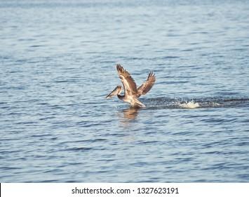 Brown pelican fishing in Florida lake