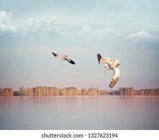 Brown pelican fishing in Florida lake at sunset