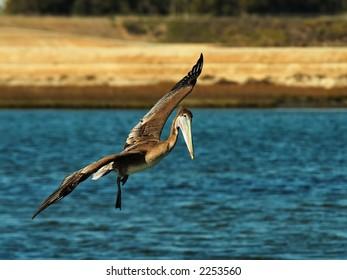 Brown Pelican flies over the Bolsa Chica Wetlands.