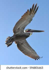 Brown pelican in flight. Flying Brown pelican (Pelecanus occidentalis) on the blue sky background in counterlight