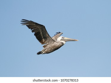 Brown Pelican in flight near Mobile, Alabama.