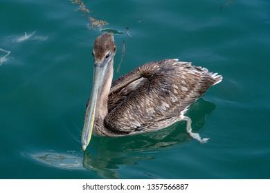 brown pelican floating in green ocean water