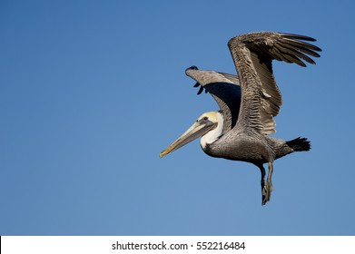 A Brown Pelican just after it takes off with its feet hanging down and wings above its head in front of a bright blue sky.