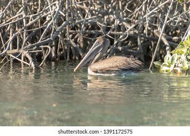 Brown Pelican - In The Mangroves