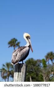 Brown Pelican on Florida's Gulf Coast