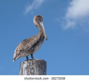 Brown Pelican On Piling