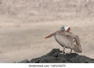 Brown Pelican - On The Rocks