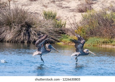 Brown Pelican (Pelecanus occidentalis) in Bolsa Chica Ecological Reserve, California, USA
