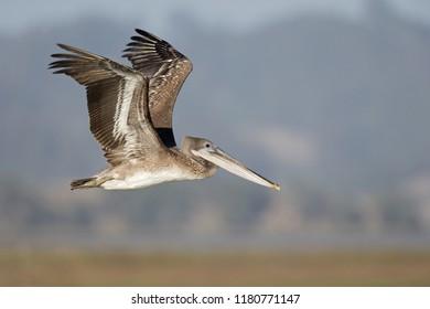 A brown pelican (Pelecanus occidentalis) in flight over water at Moss landing California.