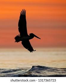 Brown Pelican (Pelecanus occidentalis) in flight at sunrise - Jekyll Island, Georgia