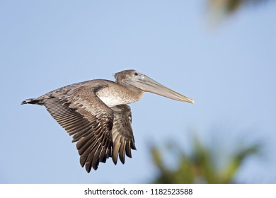 A brown pelican (Pelecanus occidentalis) flying in front of a blue sky and palm trees at Fort Myers Beach Florida.