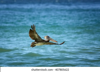Brown Pelican, Pelecanus occidentalis flying low above sea level with outstretched wings. Wildlife photo, Tobago island.