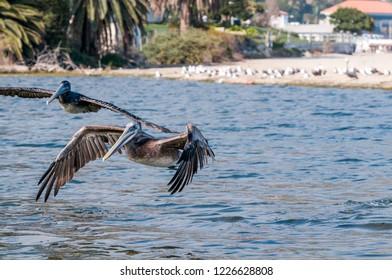 Brown Pelican (Pelecanus occidentalis) in Malibu Lagoon, California, USA