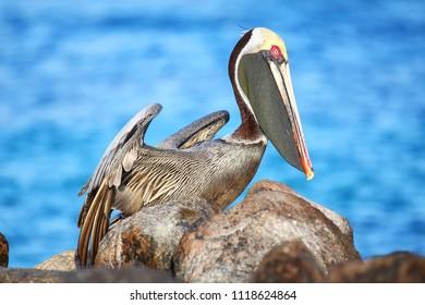 Brown pelican (Pelecanus occidentalis) on Espanola Island, Galapagos National park, Ecuador.