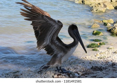 A brown pelican / Pelecanus occidentalis on a Caribbean beach & stones in the background. Cancun, Mexico. Coast of the Caribbean Sea. Postcard