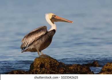 Brown Pelican (Pelecanus occidentalis) perched on a rock in the Guf of Mexico - Venice, Florida