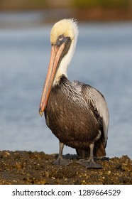 Brown Pelican (Pelecanus occidentalis) perched on a rock in the Gulf of Mexico - Florida