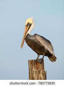 Brown Pelican (Pelecanus occidentalis) perched on a dock piling - Estero Island, Florida