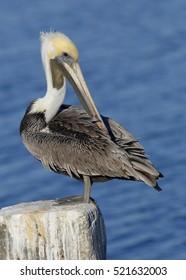 Brown Pelican (Pelecanus occidentalis) preening its feathers on a concrete dock piling - Cedar Key, Florida
