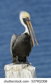 A Brown Pelican (Pelecanus occidentalis) preens its feathers on a dock piling - Cedar Key, Florida