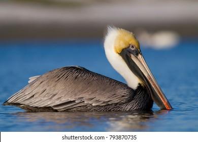 Brown pelican (Pelecanus occidentalis) in Sanibel Island, Florida