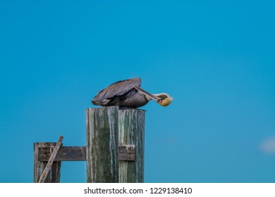 Brown pelican (Pelecanus occidentalis) sitting on a pier pole on a sunny day and performed personal hygiene