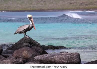 Brown pelican (Pelecanus occidentalis) sitting on a rock at Suarez point, Espanola Island, Galapagos National park, Ecuador.