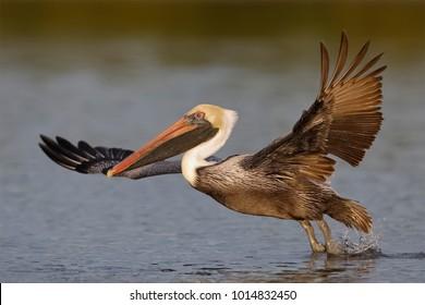 Brown Pelican (Pelecanus occidentalis) taking flight from a lagoon - Fort De Soto Park, Florida