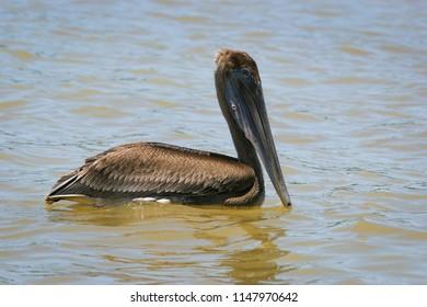 Brown Pelican  (Pelecanus occidentalis) in Tortuguero, Costa Rica.