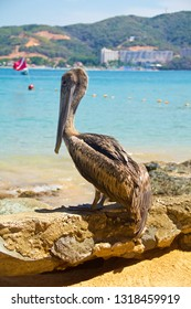 brown pelican rests in the beach